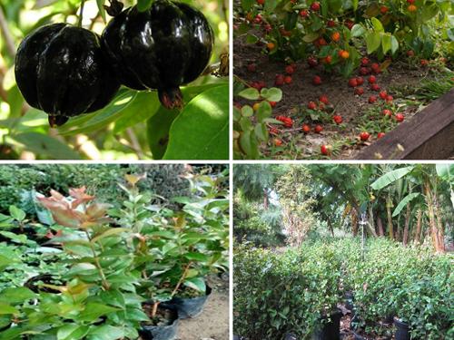 Cây Giống Cherry Nam Mỹ - Quả Có khía Màu Đỏ Và Hơi Tím Đen
